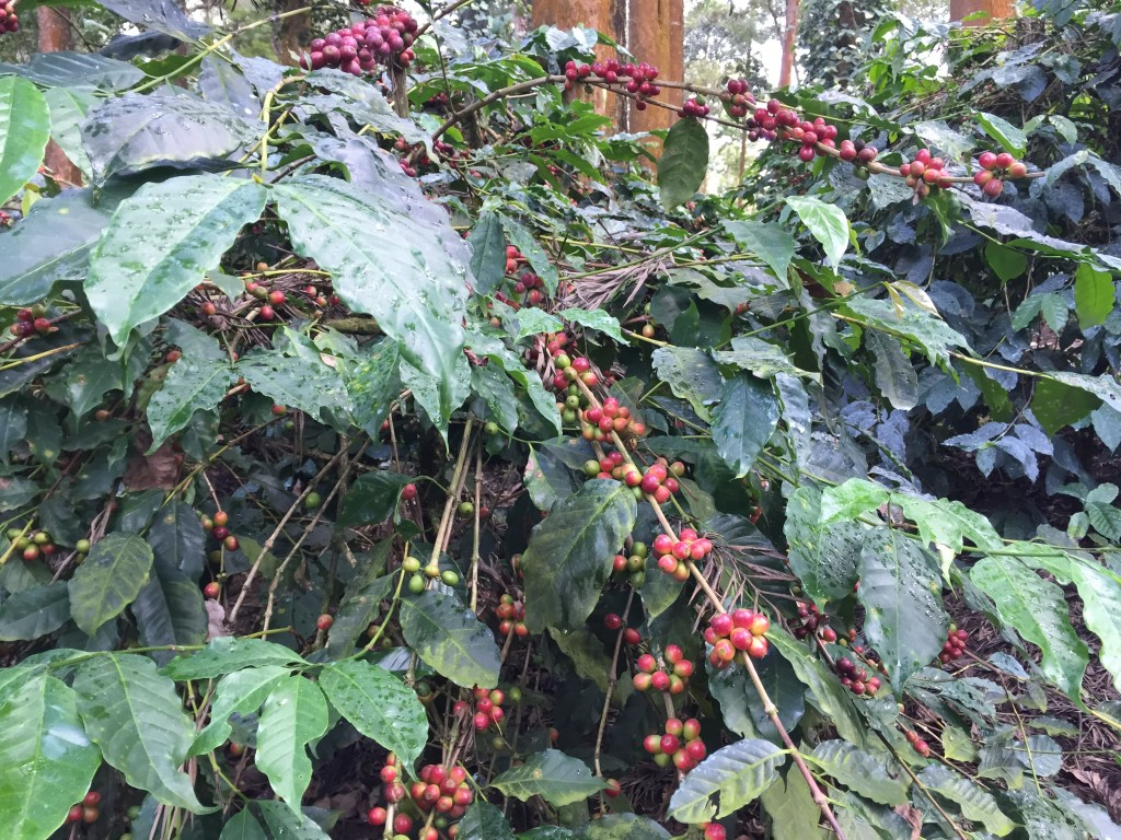 Coorg And The Tata Coffee Plantation Trails